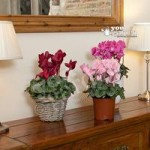 Christmas Cyclamen 13cm – 3 plants in flower in mix of colou