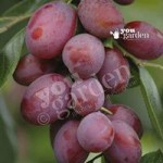 Plum Victoria bare root tree