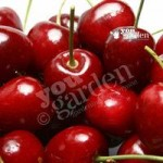 Cooking Cherry Morello tree