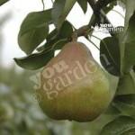 Pear Doyenne du Comice tree