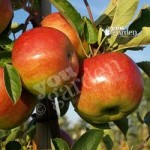 Apple Lord Lambourne on M26 root stock 7.5L