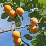 Plum Oullins Golden Gage tree