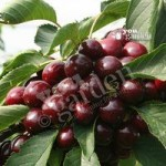 Sweet Cherry Lapins tree