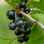 Blackcurrant Ben Lomond – pack of 2 bare roots