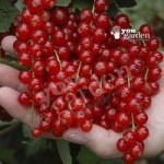 Redcurrant Rovada – pack of 2 bushes