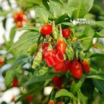 Set of 3 Goji Berry (Sweet Lifeberry) plants in 9cm pots