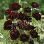 Set of 6 Cosmos Choca Mocha Jumbo Plug Plants