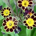 Primula Gold Lace – pack of 12 jumbo plugs