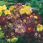 Primula auricula – pack of 12 jumbo plug plants