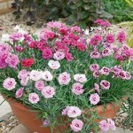 Hardy Devon Pinks collection – pack of 12