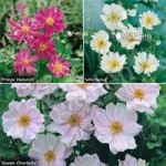 Hardy Japanese Anemone plant collection – 3 colours in 9cm pots