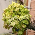Pack of 6 Hardy Trailing Heucherella Sunrise Falls jumbo p