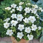 Gardenia Kleims Hardy 9cm – set of 3