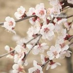 Prunus incisa Kojo-no-Mai (Fuji Cherry Tree) in 2L pot