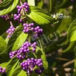 Callicarpa Profusion (Beauty Berry) plants – set of 3 in 9cm ptos
