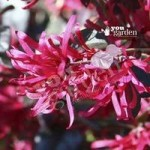 Loropetalum Firedance (Chinese Witch Hazel) plants – set of 3 in 9cm pots