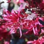 Loropetalum Firedance (Chinese Witch Hazel) plants – set of 3 in 9cm pots