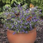 Dwarf Patio Buddleia Blue Chip plants – pack of 3 in 9cm pots
