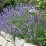 English Lavender Grosso hedging Pack – 12 plugs