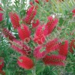 Bottlebrush Plant Callistemon citrinus 3L pot