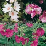 Lavatera (Mallow) plant collection – pack of 3 colours in 9cm pots