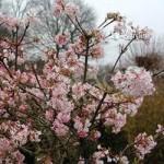Viburnum bodnantense Charles Lamont plant in 9cm pot