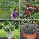 Dwarf Patio Buddleia Chip plant collection – red, white & blue