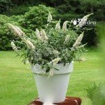Dwarf Patio Buddleia White Chip plants – pack of 3 in 9cm pots