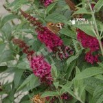 Dwarf Patio Buddleia Red Chip – pack of 3 9cm pots