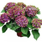 Pair of Hydrangea Glam Rock plants