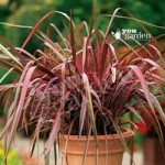 Pack of 3 Hardy Phormium plants 50cm+ tall in 3 colours