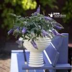 Compact Patio Buddleia Lilac Chip pklantsb – set of 3 in 9cm pots