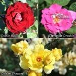 Climbing Rose Collection – 3 varieties