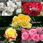 The Garden Glamour Repeat-Flowering Rose Collection x 5 B
