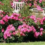 Groundcover Rose plant Flowercarpet Pink 3L pot