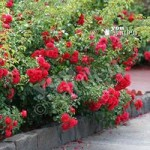 Groundcover Rose bush Flowercarpet Scarlet 3L pot
