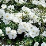 Groundcover Rose bush Flowercarpet White 3L pot