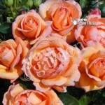 Rose of the Year 2014 Lady Marmalade bare root