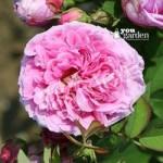 Rose Comte de Chambord bare root