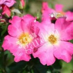 Climbing Rose Summer Breeze bare root