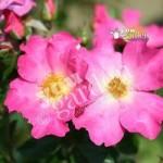 Climbing Rose Summer Breeze bare root