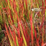 Perennial Imperata Red Baron (Blood Grass) plants – pack of 3 in 9cm pots