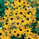 Hardy Rudbeckia Goldsturm perennial plants – pack of 3 in 9cm pots