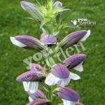 Acanthus mollis (Bears Breeches) plants – set of 3 in 9cm pots