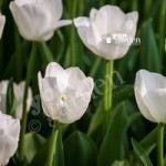 Tulip Triumph White Size 12+ pack of 15 bulbs