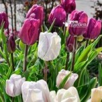 Tulip Purple & Shirley mix Size: 10/11 pack of 15 bulbs