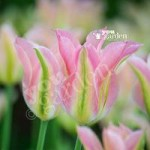 Tulip viridiflora Greenland Size:11/12 pack of 10 bulbs