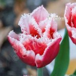 Tulip Canasta Size: 10/11 pack of 10 bulbs
