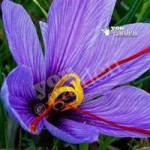 Crocus sativus (Saffron Crocus) Size:7+ pack of 12 bulbs