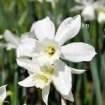 Narccisi Thalia Size:8/10 pack of 25 bulbs